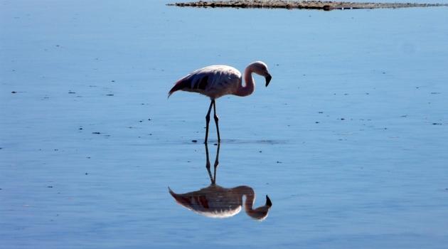 Flamingo-an-der-Laguna-Chaxa.JPG